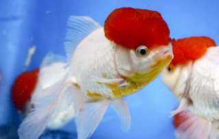 Imported Fancy Chinese Goldfish red cap fish koi pond NDK