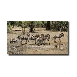Safari Zebras Group I Giclee Print